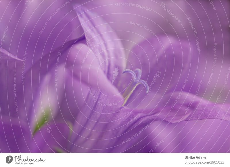 800 - Lila Makroblüte der Glockenblumen ( Campanula ) Blüte Blume Farbfoto Pflanze Blühend Natur Menschenleer Nahaufnahme violett Frühling Garten Außenaufnahme