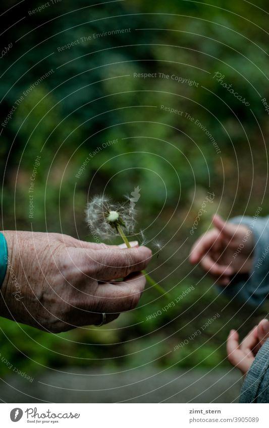 Oma und Enkel mit Pusteblume alte Hand Hand mit Altersflecken kleine Hand Kinderhand Generationen Generationenvertrag Distanz Nähe Corona Hoffnung Vertrauen