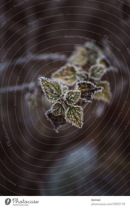 Pflanze mit gefrorenen Blättern Natur Winter Eis Kälte Herbst Farbe Raureif kalt Frost Nahaufnahme Blatt Umwelt Naturschönheit grün Brennessel