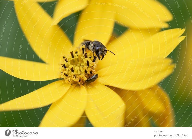 Solitärbiene auf einer gelben Blüte Mädchenauge Biene Blume Insekt Pflanze Tier Natur xenias fleißig Sommer