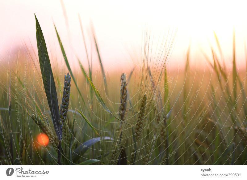 rosa Horizont Natur Sommer Schönes Wetter Wärme Pflanze Nutzpflanze Feld berühren Bewegung Erholung leuchten Wachstum frisch hell saftig weich grün Glück