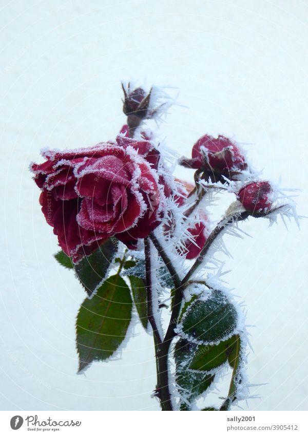 eiskalte Rose... Blume Blüte Blüten Knospe rot Frost Eis Winter Wintereinbruch Eiskristall eiskalr Pflanze gefroren Raureif weiß frieren Kristallstrukturen