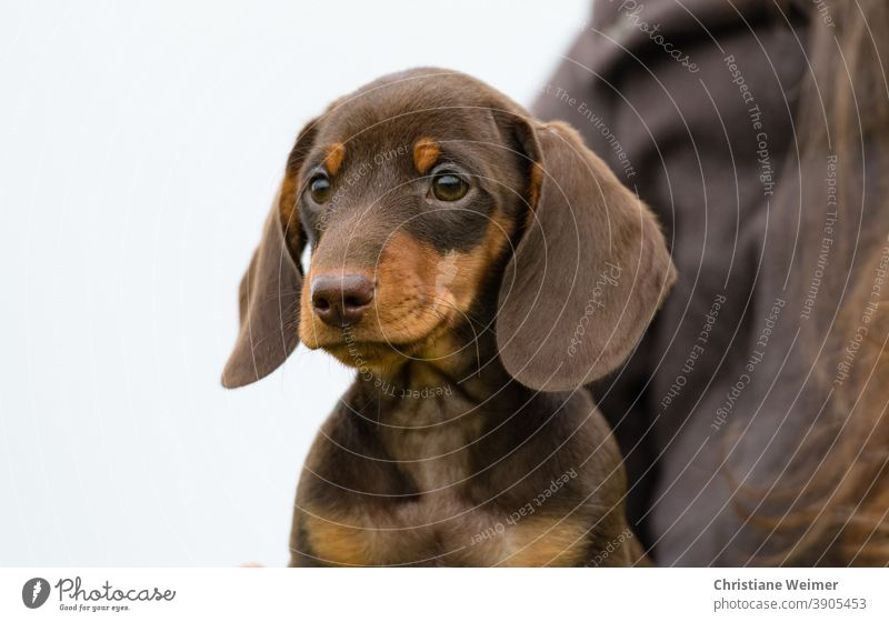 Dackelwelpe braun Teckel Welpe Hund Tier Haustier Säugetier Hundeblick Dackelblick jung baby niedlich freundlich treu anhänglich klein Zwergteckel Zwergdackel