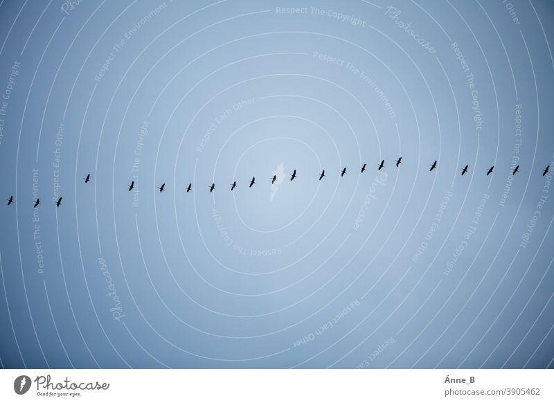 Schwarm drüber – Zugvögel am Himmel fliegen Vögel Vogel Vogelzug Abflug Abreise Ankunft Anflug Aufbruch Weg Route Flugbahn Fluglinie frei wild urig instinkt