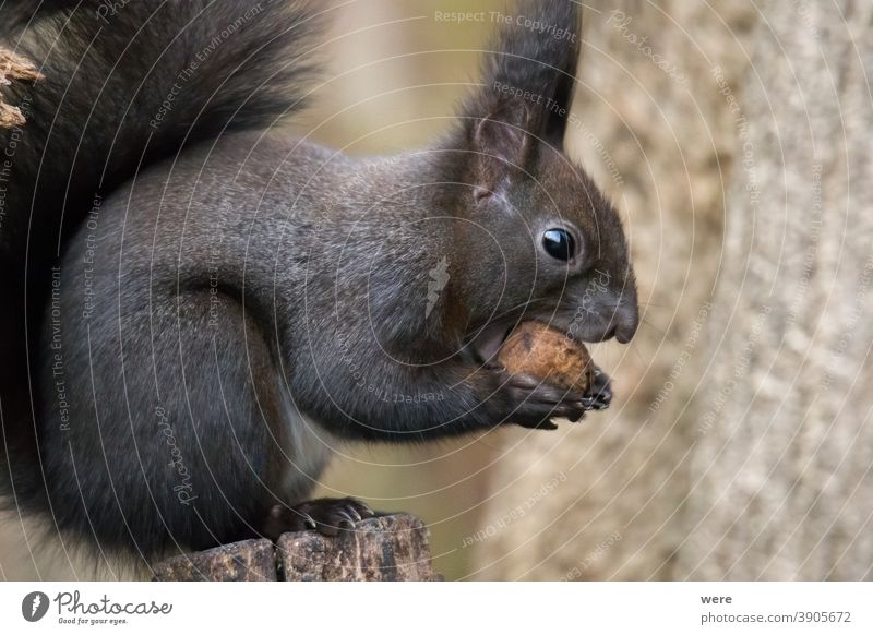 Europäisches Braunes Eichhörnchen in frisst eine Nuss auf einem Ast im Wald Hintergrund Sciurus vulgaris Tier Niederlassungen Textfreiraum kuschlig