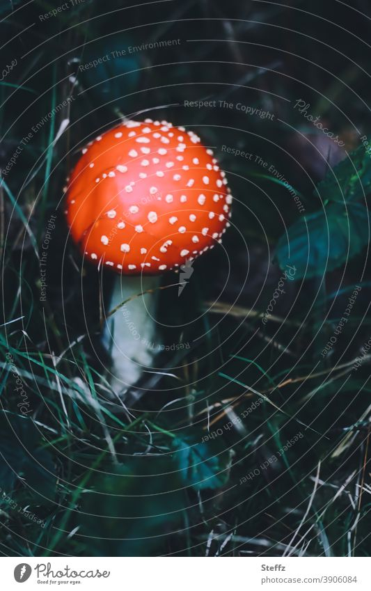 1.500 | Ein bestätigter Glückspilz Fliegenpilz Pilz Waldpilz Amanita muscaria Pilzsuche gefunden Herbstwald Pilzhut giftiger Pilz dunkelgrün rot Waldboden