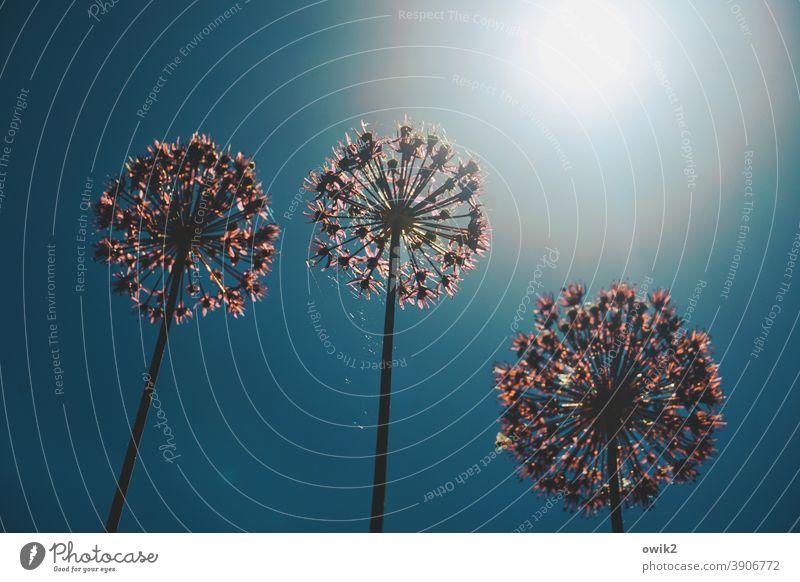 Ersatzfeuerwerk Blume Blüte exotisch stehen rund hoch Zusammensein Wachstum Einigkeit Leben Neugier Hoffnung Zierlauch Blauer Himmel türkis violett Blühend