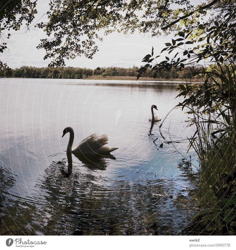 Szenenbild Schwan Wildtier Tierpaar Tierporträt verträumt 2 elegant Zusammensein Gelassenheit Bewegung geduldig ruhig Idylle Zufriedenheit Natur Umwelt