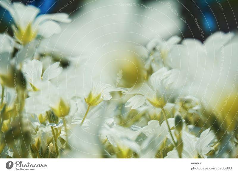 Blumiger Moment Wiese Bodendecker viele nah klein blühen Blüten Bewegungsunschärfe Unschärfe duftend Frühling Außenaufnahme Natur Pflanze Farbfoto grün weiß