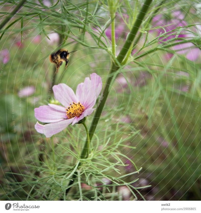 Frei nach Rimski-Korsakow Cosmea lila hell Blumenwiese Frühling natürlich Blühend Leben Frühlingsgefühle Totale Sonnenlicht Detailaufnahme Nahaufnahme
