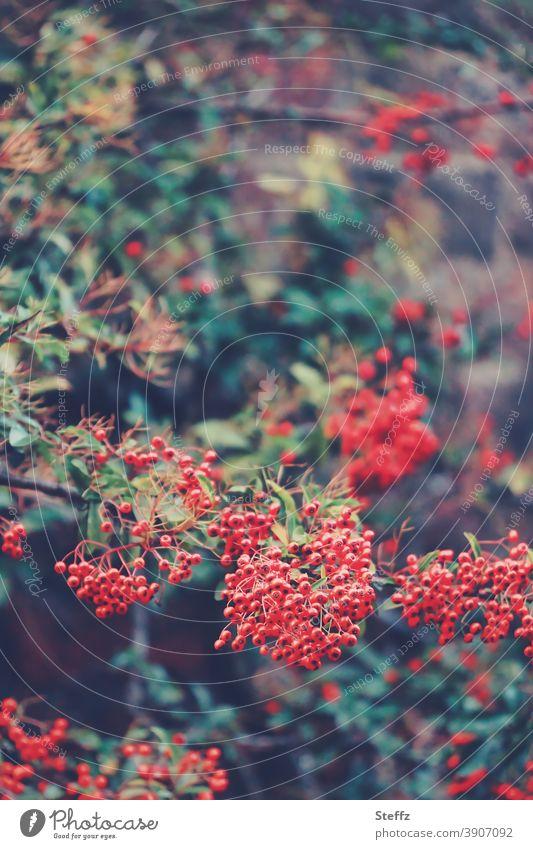 Herbstbeeren  in kräftigem Rot Feuerdorn Beerenstrauch Roter Feuerdorn rote Beeren dunkelgrün kräftige Farben feuerrot dunkelgrüne Blätter Mauerstück