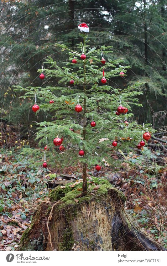Weihnachten im Wald - mit roten Kugeln geschmückter kleiner Tannenbaum, der im Wald auf einem Baumstamm wächst Advent weihnachtlich wachsen Natur Umwelt