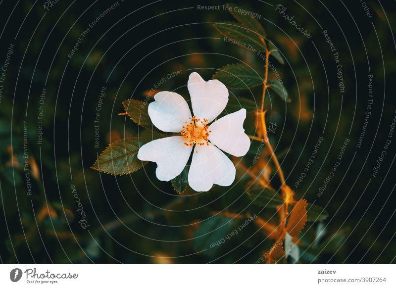 Detail einer weißen Blüte von Cistus salviifolius Natur Vegetation natürlich Blume geblümt blühte Botanik botanisch Blütenblätter Überstrahlung Nahaufnahme