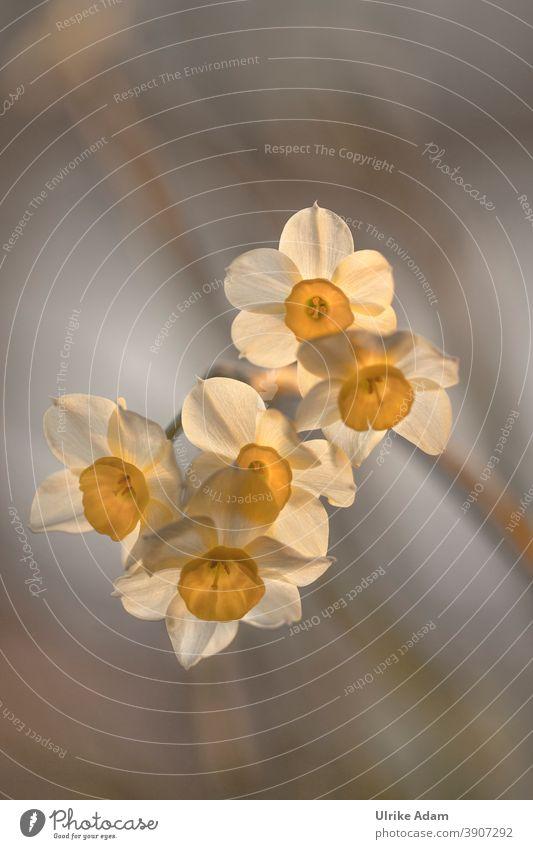 Frühlingserwachen - Lichtdurchflutete Blüten der Narzissen Design harmonisch Erholung ruhig Meditation Dekoration & Verzierung Tapete Bild Postkarte Ostern