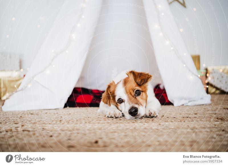 Süßer Jack Russell Hund zu Hause stehend mit Weihnachtsdekoration. Weihnachtszeit jack russell Weihnachten heimwärts Dekoration & Verzierung Tipi Dezember