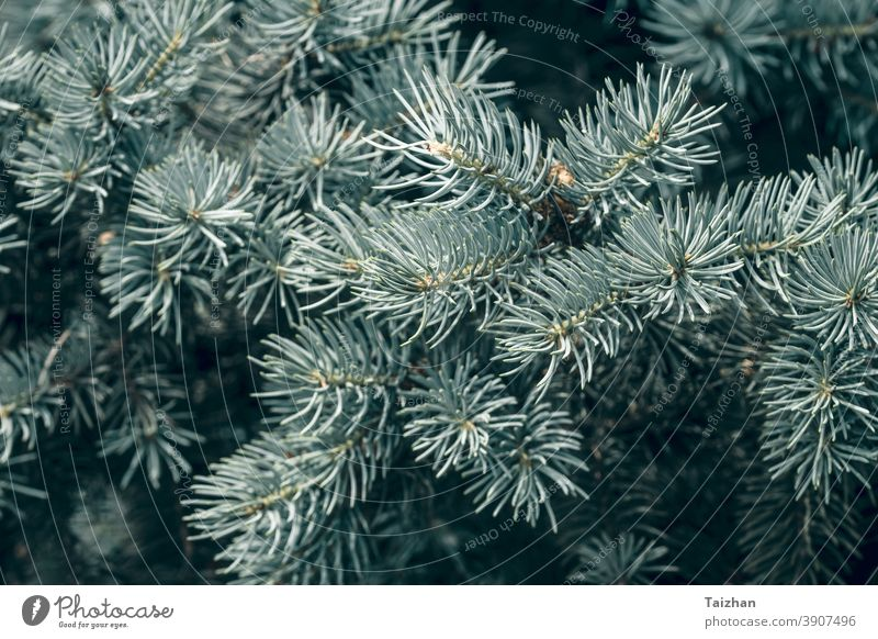 Nadeln an den Zweigen in Nahaufnahme. Zweig Blaufichte im natürlichen Hintergrund blau Dekoration & Verzierung dekorativ Detailaufnahme Immergrün Tanne Natur