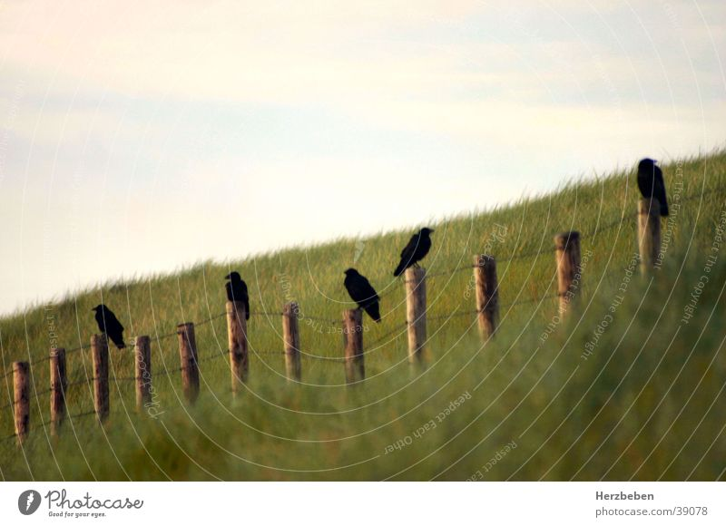 Raben schwarz Gras Vogel Verkehr Stranddüne Rabenvögel Dünengras