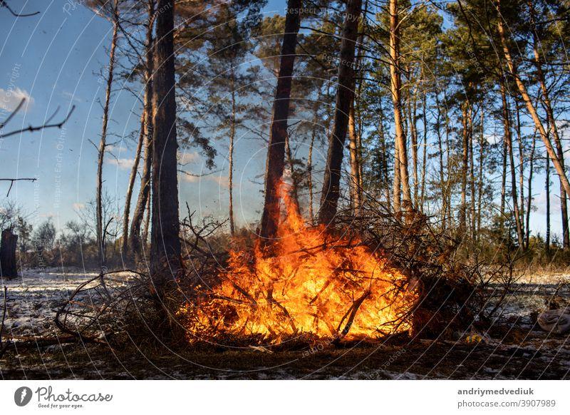 große Lagerfeuer oder Lagerfeuer, die an sonnigen Tagen im Winterwald brennen. Feuer in der Natur. Holz Flamme Feuerstelle Wald Tourismus Brand behüten