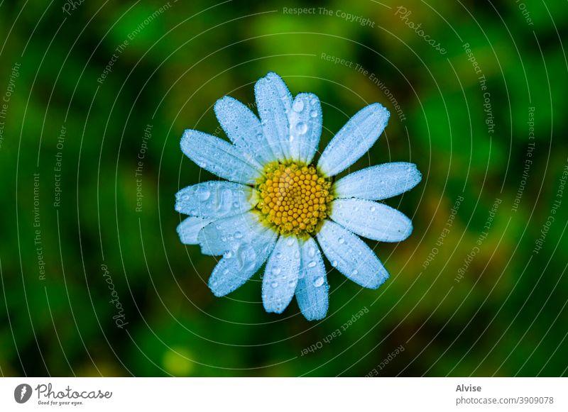 Hymne Gänseblümchen am Vormittag Natur Pflanze Garten grün Frühling gelb Hintergrund weiß Blume Blüte schön Flora hell natürlich geblümt Kamille frisch