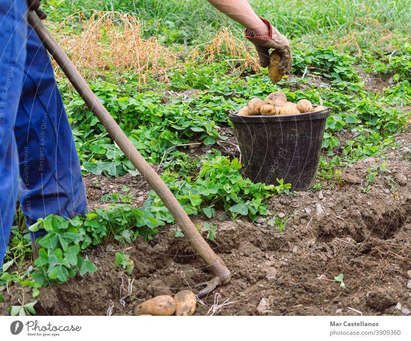 Mann erntet Kartoffeln mit der Hand. Landwirtschaft. Ackerbau Ernte abholen herausnehmen Korb ländlich Bauernhof Knolle Lebensmittel Zutaten Menschen organisch