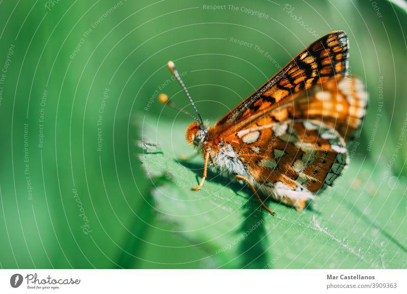 Vanessa cardui. Bunter Schmetterling auf einem Blatt sitzend. Selektiver Fokus auf Makrofotografie. Natur Fauna unscharfer Hintergrund Farben hautnah Tiere