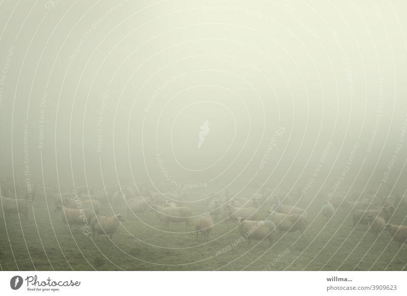 Schafe im Nebel Schafherde Herdentiere Wiese Nutztiere Hausschaf Textfreiraum Tier