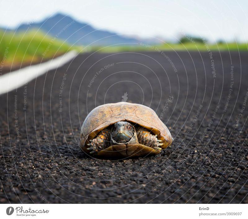 Geschmückte oder Wüstenkistenschildkröte Niedrigwinkel-Nahaufnahme auf der Straße in der Wüste Arizonas verzierte Kastenschildkröte Schildkröte Reptil Tierwelt
