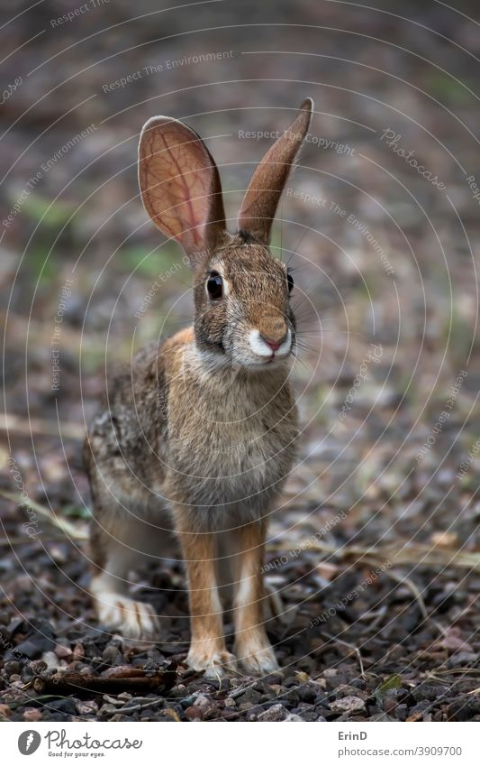 Junger Antilopen-Jackenkaninchen-Wildhase schaut auf Kamera Nahaufnahme Antilopen-Dackelkaninchen Lepis-Alleni Kaninchen Hase wüst Tier Tierwelt Arizona Natur