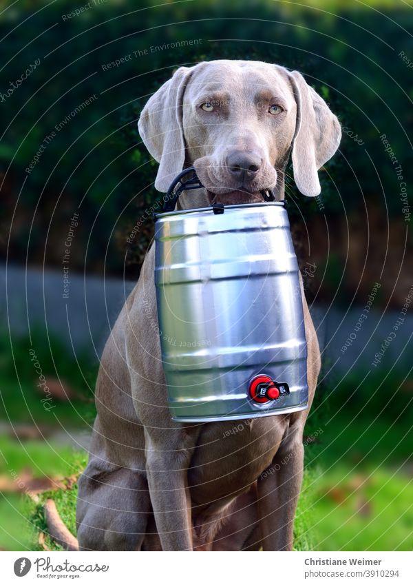 Weimaraner Jagdhund apportiert Bierfass Hund apportieren bringen tragen halten Vorstehhund grau kurzhaarig edel lustig Fest mannscharf wildscharf Arbeitshund