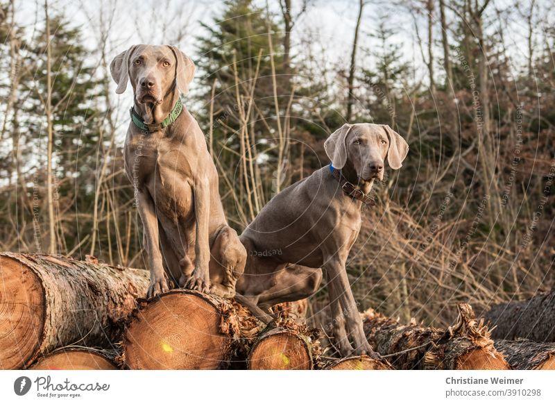 Zwei Weimaraner Jagdhunde sitzen auf Holzstapel jagdhunde Hunde Tiere Vorstehhunde Arbeitshunde Vollgebrauchshunde mannscharf wildscharf gehorsam schwierig grau
