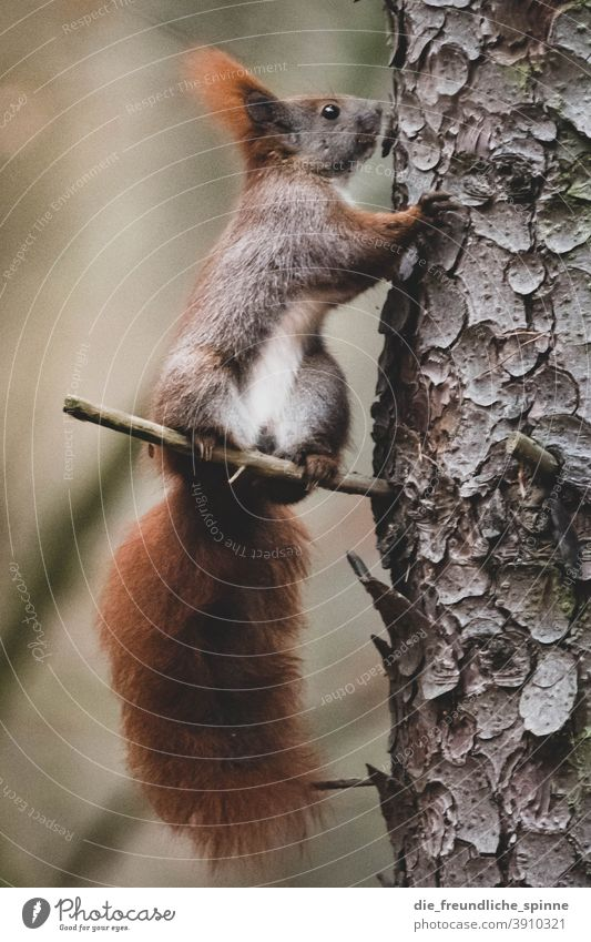 Eichhörnchen am Baum Eichhorn Hörnchen süß Fell niedlich braun Säugetier Tierportrait Nagetiere Natur Pfote Wald Wildtier buschig Ohr Schwanz klein Wiese Auge