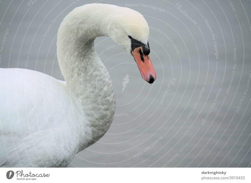 Weiß gefiederter erwachsener Schwan in Form eines Portraits (Cygnus olor) mit gesenktem Haupt Wegsehen Tierporträt Morgen Textfreiraum rechts Außenaufnahme