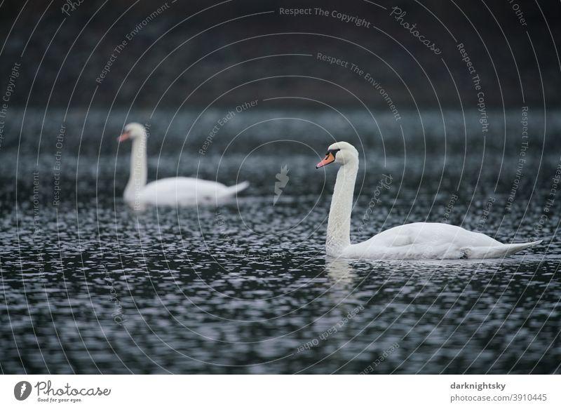 Zwei weiß gefiederter erwachsene Schwäne auf einem See (Cygnus olor), Paar Tierporträt Morgen Textfreiraum rechts Außenaufnahme Gefühle Tierliebe weich grau