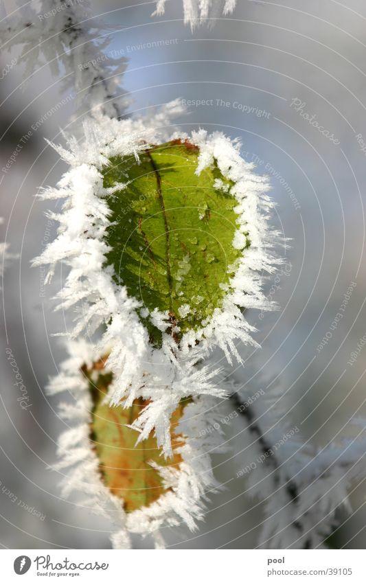 Blatt im Raureif kalt Winter grün gefroren Baum Schneelandschaft Kristallstrukturen Frost Eis Makroaufnahme Natur