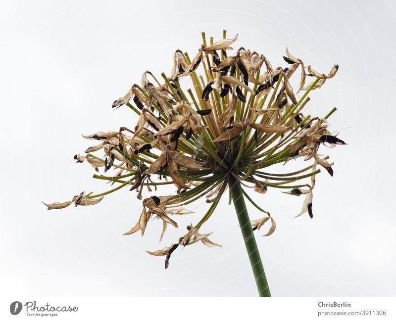 Abgeblühte Blütendolde kugelförmig weiß abgeblüht Doldenblüte Herbst Himmel Pflanze Natur Blume Nahaufnahme Menschenleer Außenaufnahme Farbfoto Doldenblütler