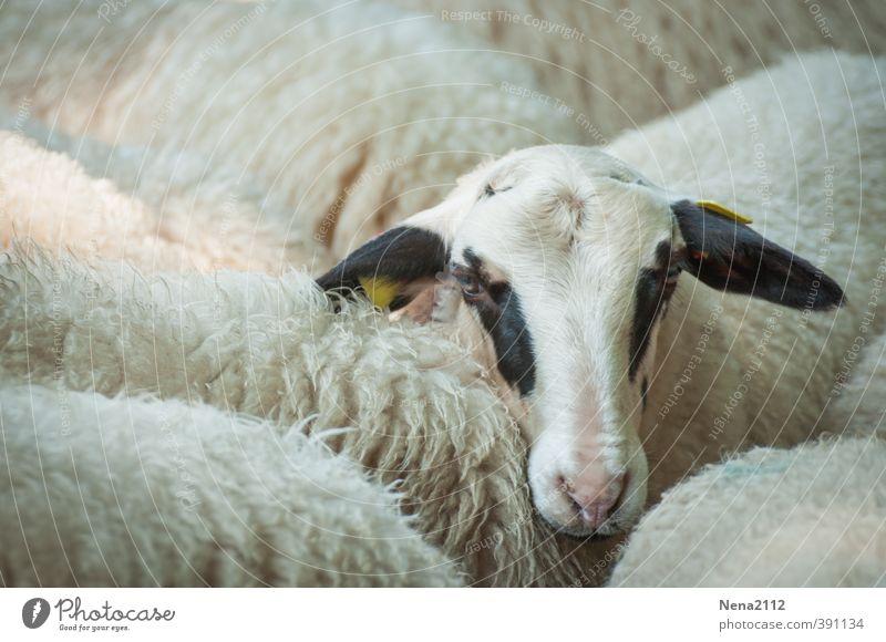Tier | Feel alone? Tiergesicht 1 Tiergruppe Freude Platzangst Schaf Wolle Auge Herde Lamm Einsamkeit schwarz weiß Bauernhof Zoo Nutztier Farbfoto Außenaufnahme