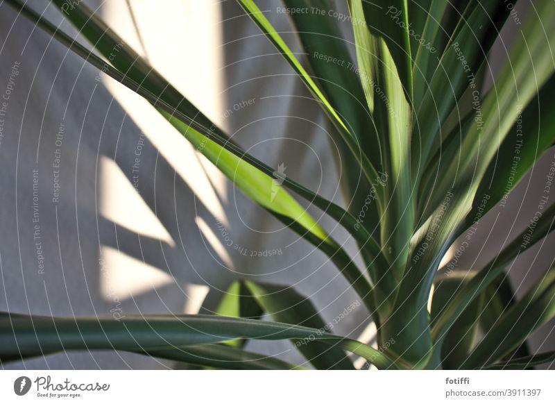 Unter Palmen Pflanze Zimmerpflanze Grünpflanze grün Blatt Nahaufnahme Menschenleer Natur exotisch Wachstum Palmenwedel Baum Ferien & Urlaub & Reisen Umwelt