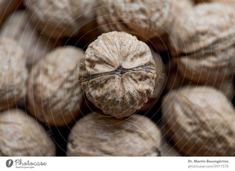 Walnüsse, eine Nuss scharf im Zentrum Walnuss Welschnuss Baumnuss geringe Tiefenschärfe Walnussgewächse Juglans regia