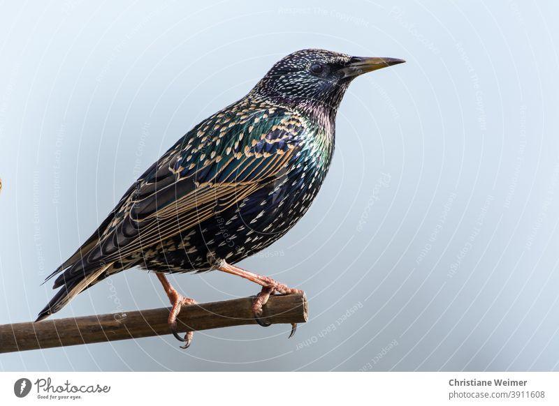 Star sitz auf Ast Vogel Singvogel Tier Tierwel Vogelbeobachtung Ornithologie Natur Tierwelt gefieder bunt schillern Prachtkleid Außenaufnahme Gefieder schwarz