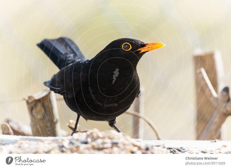 Amsel an Winterfütterung Außenaufnahme Vogel Singvögel Nahaufnahme kälte kalt Frosts schwarz gelb Tier Natur Menschenleer Farbfoto Tag Wildtier Tierporträt