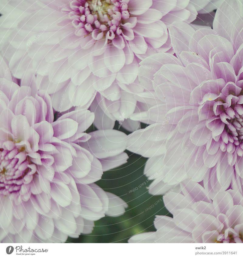 Kuschelecke Blüten Blumen üppig dick gemütlich Frühling Nahaufnahme Det Garten Blühend rosa weiß