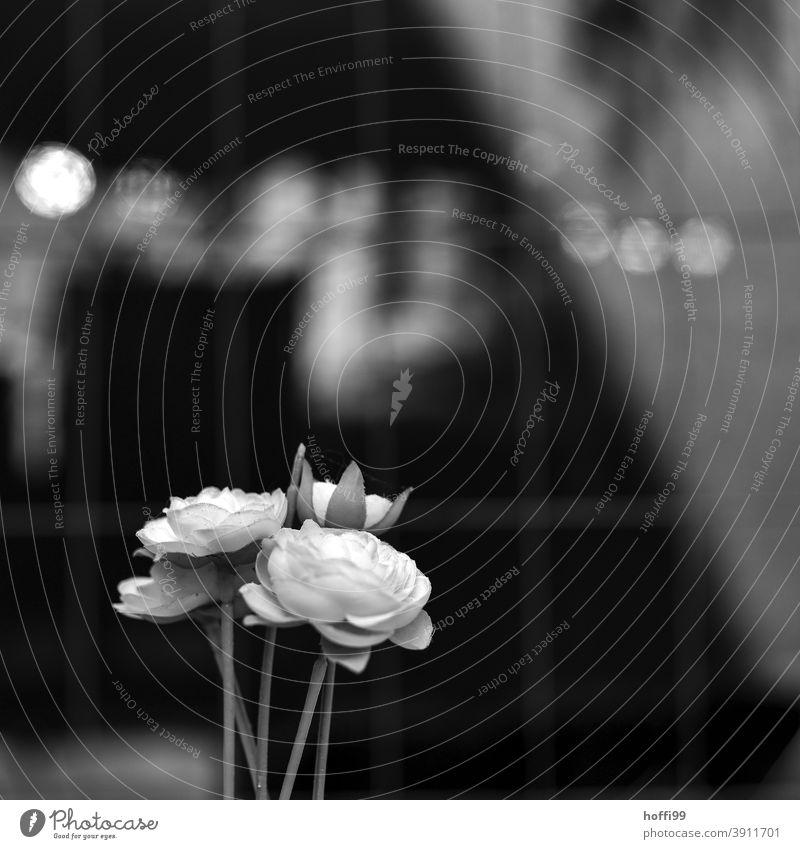 Weiße Rosen vor Gitterzaun weiß weiße Rose weiße Rosen gitterzaun Zaun Blume Blüte Metallzaun Pflanze