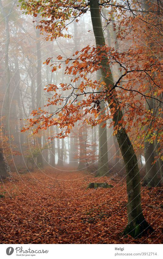 Novembernebel im Buchenwald Wald Nebel Herbst Herbstfärbung Laub Blätter Baum Waldboden geheimnisvoll undurchsichtig Natur herbstlich Herbstlaub Außenaufnahme