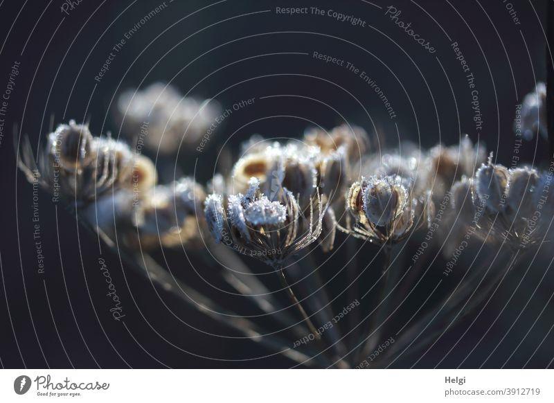 frostige Vergänglichkeit II - Raureif an vertrockneter Blütendolde im Sonnenlicht vor dunklem Hintergrund Eis Frost Kälte Winter Macro Nahaufnahme kalt Morgen
