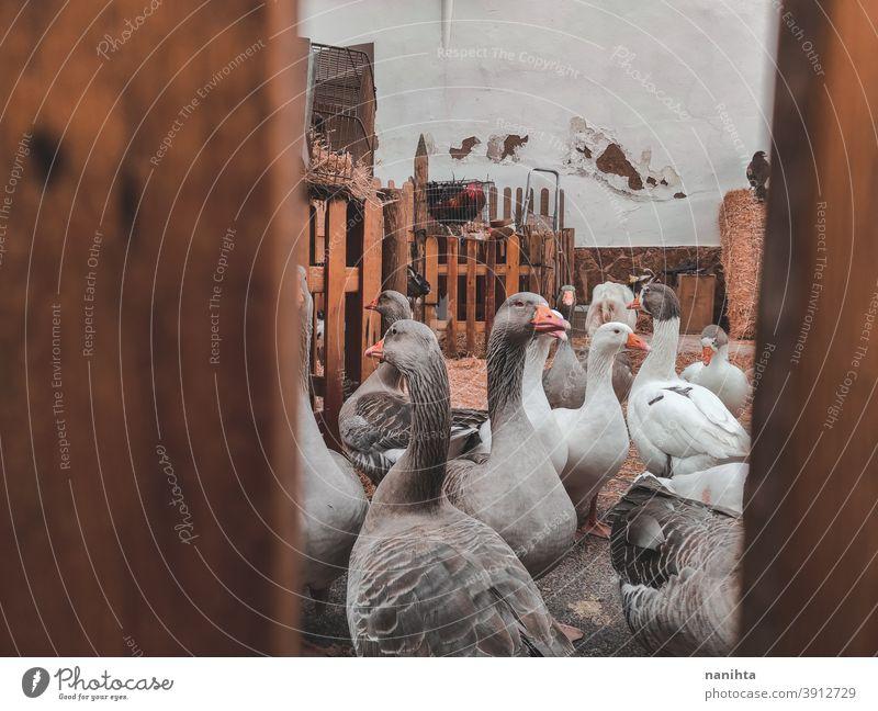 Viele Hausgänse in einer Farm Hausgans Gänse Vogel Bauernhof rustikal rostig ländlich altehrwürdig retro Vögel Leben viele Tier Tierwelt heimisch patio Hof grau
