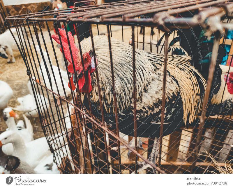 Hahn im Käfig eingesperrt Spiel Hahn Kampfhahn Tierausbeutung Gefängnis Schloss Missbrauch Vogel Trostlosigkeit Bauernhof Tierhaltung Fairness Landwirtschaft