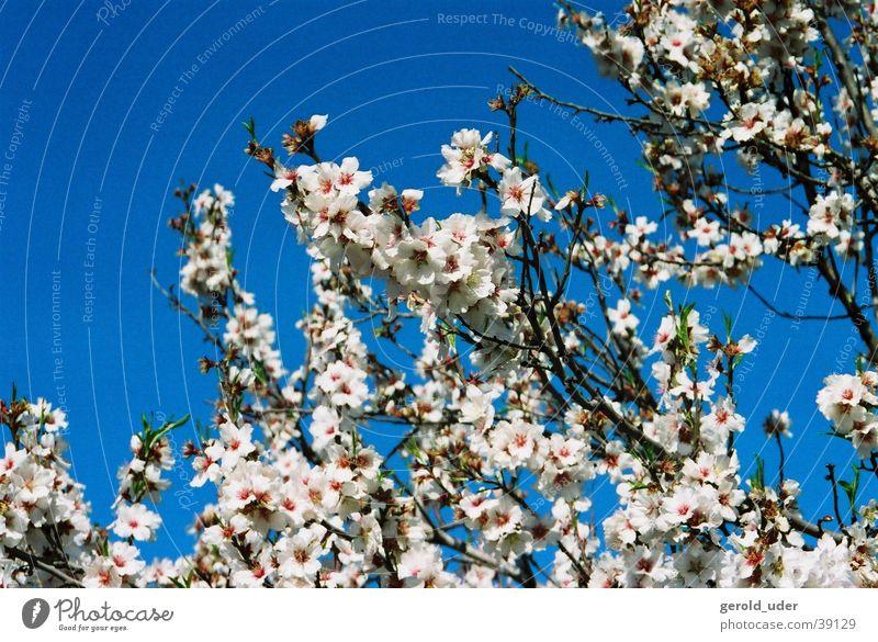 Das Blühen der Mandelbäume blau weiß Baum Frühling Blüte Ast Mallorca Frühlingsgefühle Mandelbaum