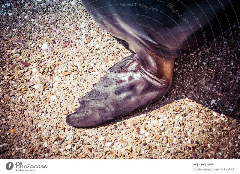 Seehund-Flosse Seelöwe Tier Farbfoto Meer Tag Wildtier Außenaufnahme Robben Seerobbe Tierporträt Schwimmen & Baden Menschenleer Haut Hand Säugetier wild stehen