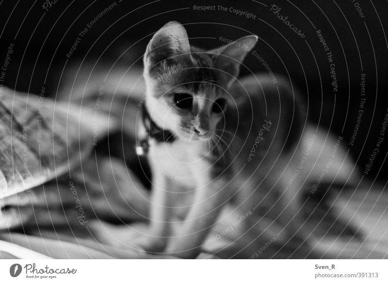 Soll ich oder soll ich nicht? Tier Haustier Katze 1 Tierjunges beobachten Denken Blick warten frech niedlich Leben Neugier Interesse Schwarzweißfoto