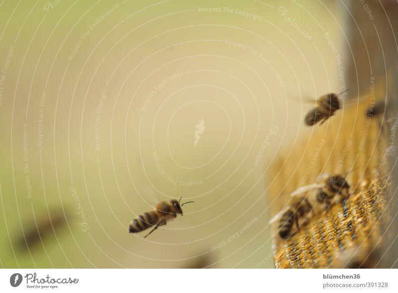 Im Landeanflug Tier Nutztier Biene Honigbiene Insekt Schwarm fliegen tragen ästhetisch klein schön Tierliebe Arbeit & Erwerbstätigkeit Frühlingsgefühle